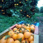 naranjas directamente de campo con hoja