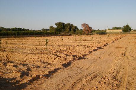 campo plantado de citricos